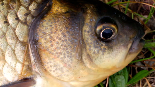 The head is small carp close up video