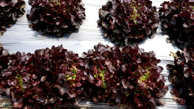 The head of red lettuce in farm video