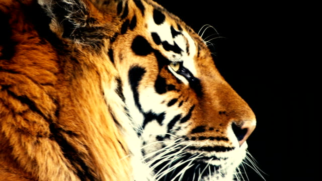 The head of the tiger descends. Close-up video