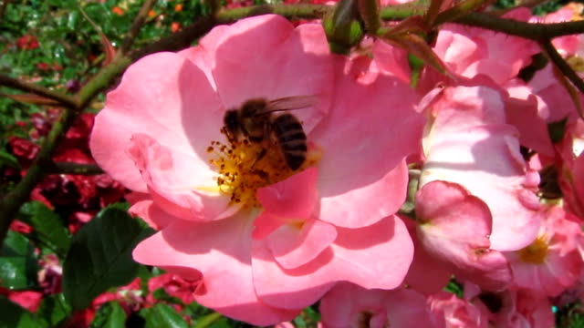 The Honey Bee actively digs in the stamens of a beautiful wild rose, close-up - 9s video