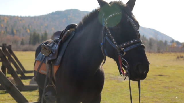 The horse is standing next to fence with complete harness made of leather and metallic belts outside video