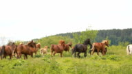 The horses gallop across the field. Herd of horses video
