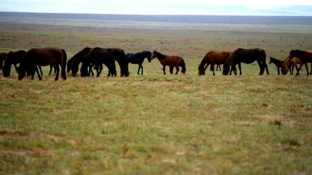 The horses graze on the grassland video