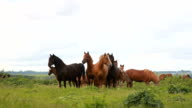 The horses in the middle of the field. Herd of horses video