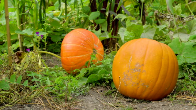 The huge calabaza or squash in the garden video