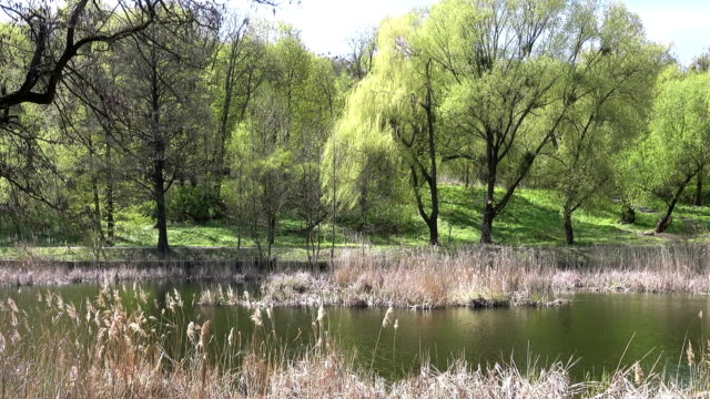the Lake Overgrown With Reeds on a Spring Day video