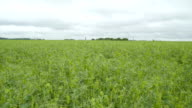 The large landscape of the pea field video