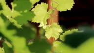 The leaves of a vine video