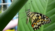 The Lime Butterfly video