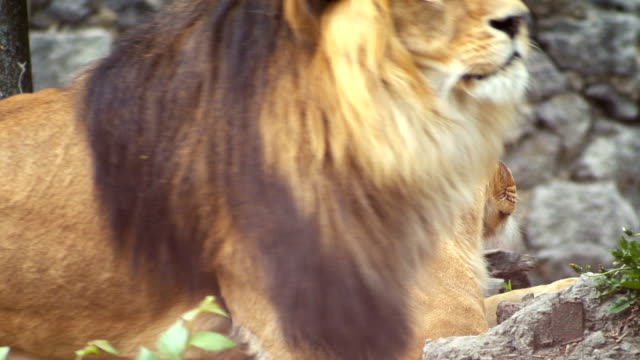 The lion walks next to the lying lioness. Close-up video