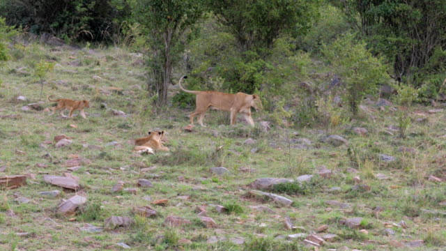 The Lioness Goes To Pee, Running Her Lion Cub video