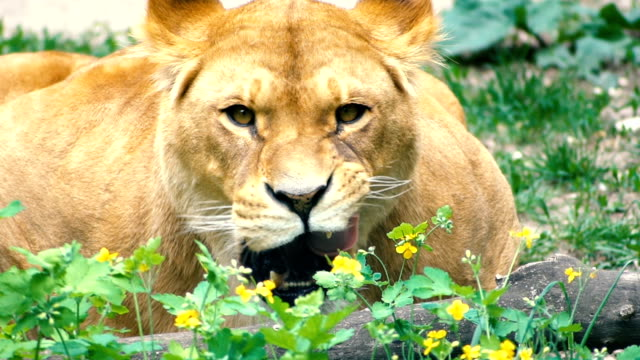 The lioness lies in the bushes and lickens. Close-up video