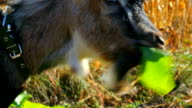 The little goat tears and eats a leaf video