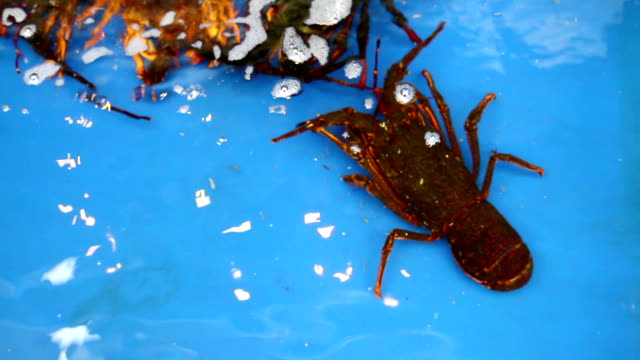 The lobster shrimp  animal. video