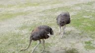 The long necked ostrich looking for food video