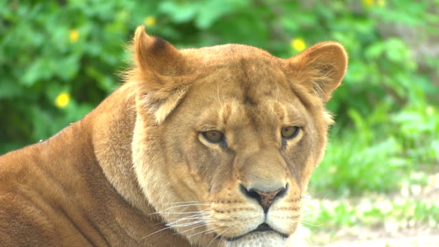 The lying lioness yawns. Close-up video