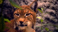 The lynx sits on a hillside, watching closely the surrounding area video