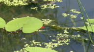 The man-made pond, blooming water Lily. video
