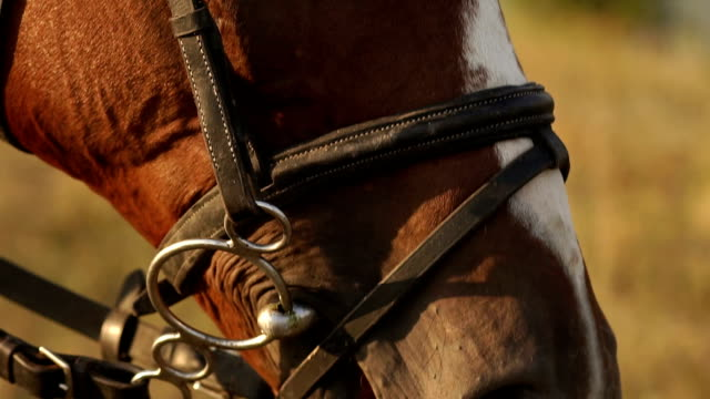 The mouth and nostrils of the horse, close-up. video