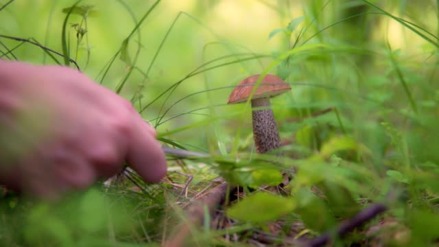 The mushroom picker is finding a mushroom in the forest and he gently cuts it with a knife video
