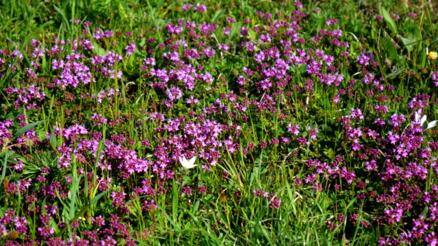 The nature of Montenegro. Wild flowers in the mountains. Adriati video