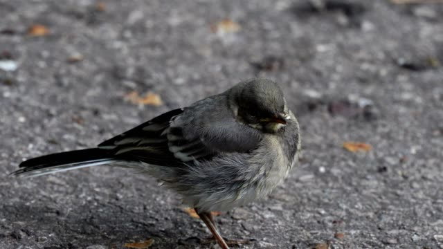 The nestling of the wagtail (bird) with yellow beaks grew up and now walks alone along the sidewalk in the park. The nestling bites worms, which are a lot on the asphalt after the rain. He's so small and looks like a lump of fluff. A summer morning in the video