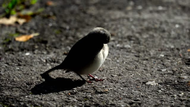 The nestling  of the wagtail (bird) with yellow beaks grew up and now walks alone along the sidewalk in the park. The nest sits on the sidewalk and cleanses its feathers. He's so small and looks like a lump of fluff. A summer morning in the park. Video cl video