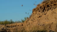The nests of swallows in a sand quarry video