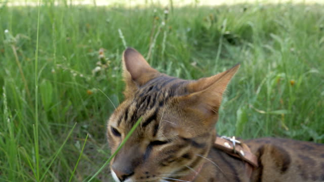 The one cat bengal walks on the green grass. video