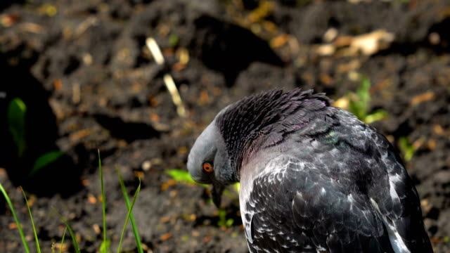 The pigeon rests after eating. The dove cleans its feathers of dirt and dust. Sunny summer day in the city park. video