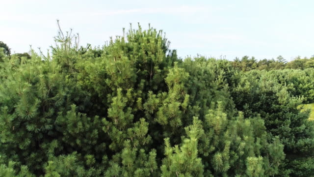 The pine tree closeup. The aerial drone close-up view to the tree-top in the forest in the Pocono Mountains at the summer sunny day. video