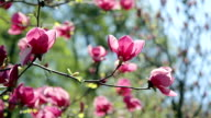 the pink magnolia flowers video