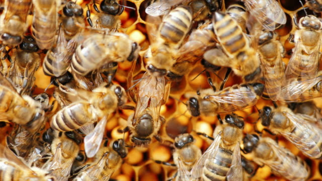 The queen bee lays eggs. Many bees surround it: support and feed video