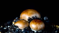 The rapid growth of champignons, time-lapse video