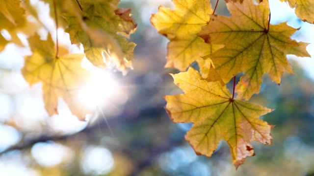 The rays of the sun shine through the yellow leaves of the maple. Beautiful autumn view video