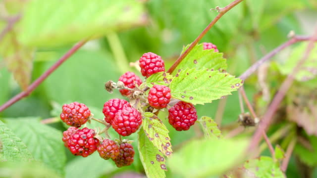 The red berry like fruits of a plant video