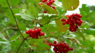 The red hawthorn fruit on the tree video