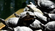 The Red-eared Terrapins Bask in the Sun video