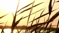 The Reeds on Sunset Background video