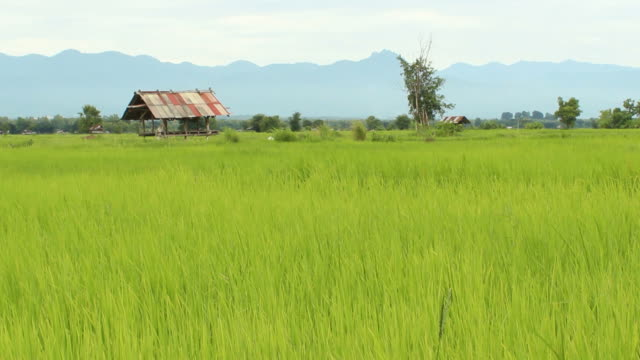 The Rice Seedlings video