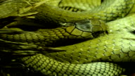 The scaly skin of the big snake video