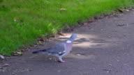 The small Columba palumbus walking on the ground video