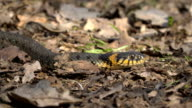 The snake crawls on the ground video