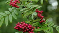 The sorbus fruit in red color video