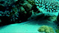 The stingray hides under the sagging corals. Red Sea in Sharm El Sheikh area video