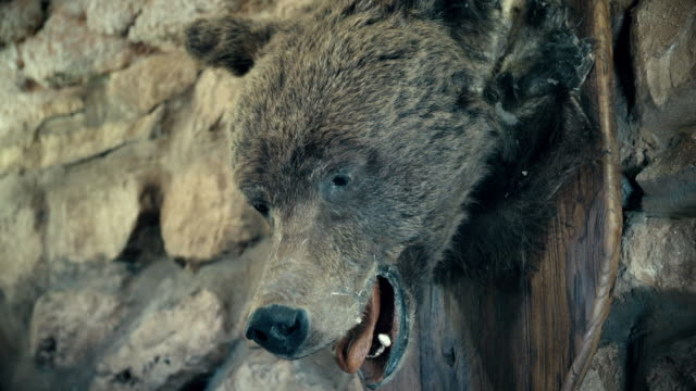 The stuffed brown bear. Krasnoyarsk region. Siberia. Russian Federation. (Zoom) video