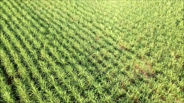 The sugar cane field with sunlight video