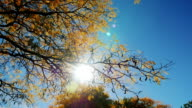 The sun shines through autumn leaves of the tree. Beautiful flare and blue sky video