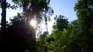 The sun's rays make their way through the branches and leaves of birch. video