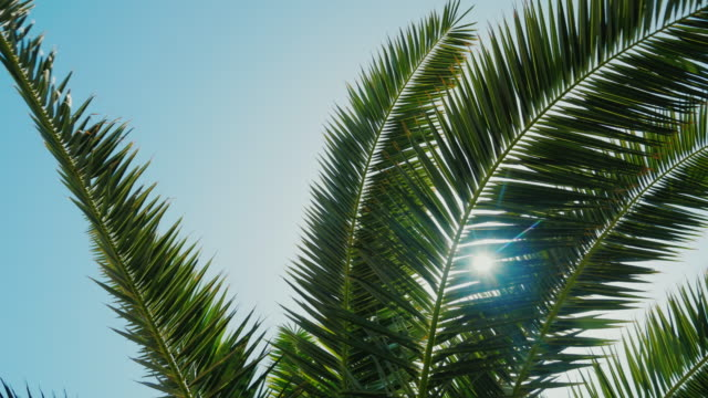 The sun's rays make their way through the leaves of the palm tree video